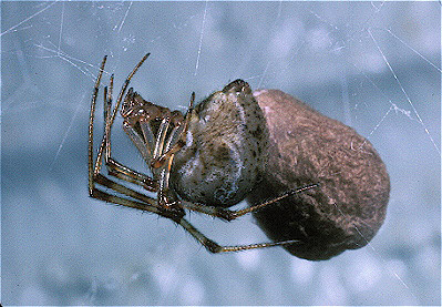 American house spider egg sac - photo#8